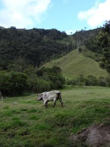 champs vaches et palmiers