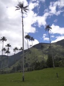 palmiers a cire